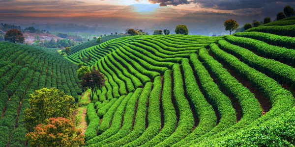 matcha tea field